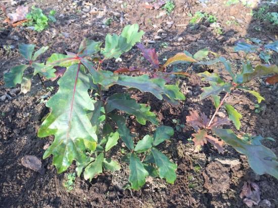 Seedlings of white oak, Quercus alba.