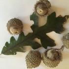Bur oak, Quercus macrocarpa.