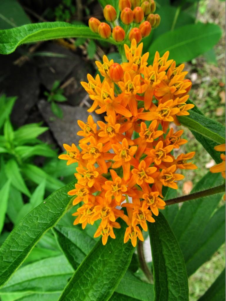 butterfly-milkweed-1