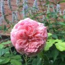 Everything will be as perfect as this Abraham Darby bloom.