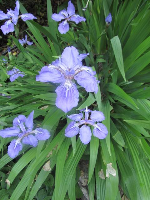 iris-tectorum-1-043011