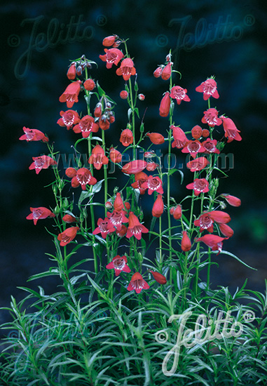 jelitto-penstemon-x-mexicale-sunburst-ruby_05