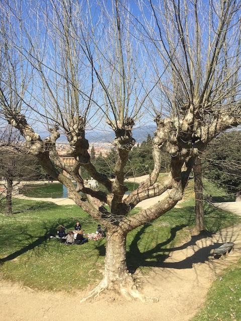 London plane tree (Platanus x acerifolia), in Tivoli Gardens, Florence, Italy.