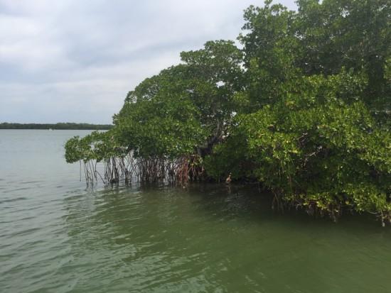 Mangroves, Tarpon Bay, Sanibel 022117 (1)