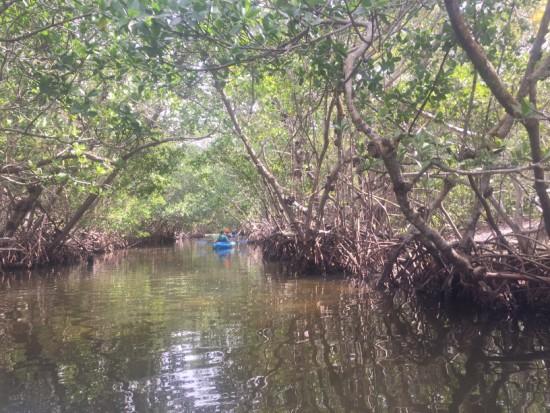 Tunnel of mangroves, Tarpon Bay Estuary, Sanibel, Florida.