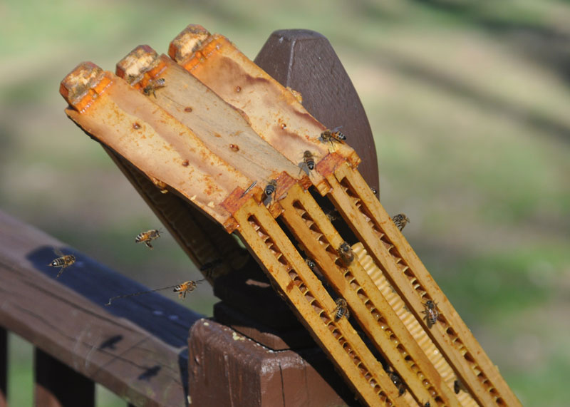 are urban bees a Red Blue thing?
