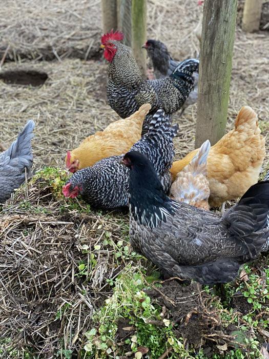 homesteading chickens