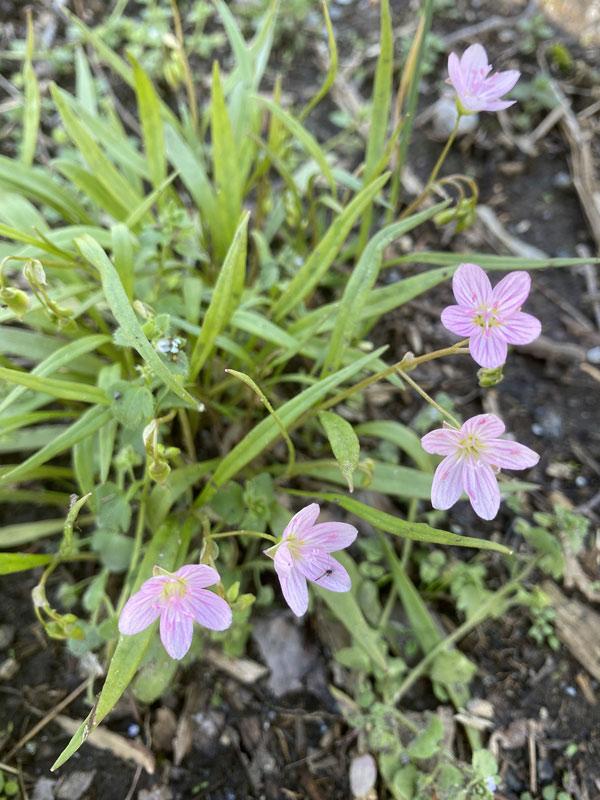 pink claytonia