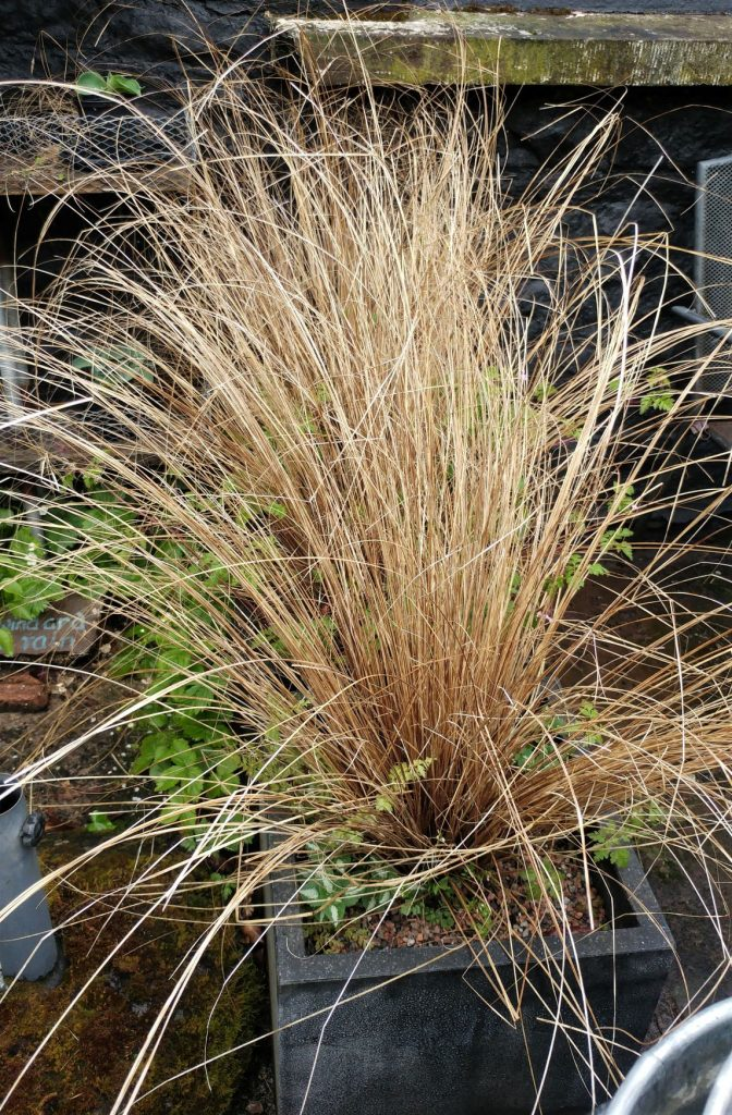 Carex buchananii at Veddw