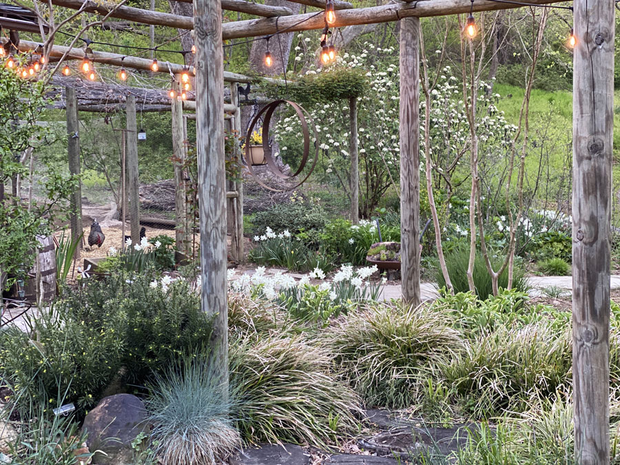 barn garden with thalia daffodils
