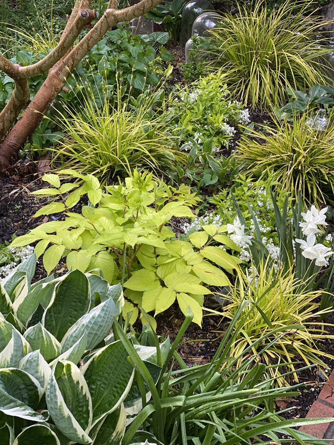 aralia and thalia daffodil