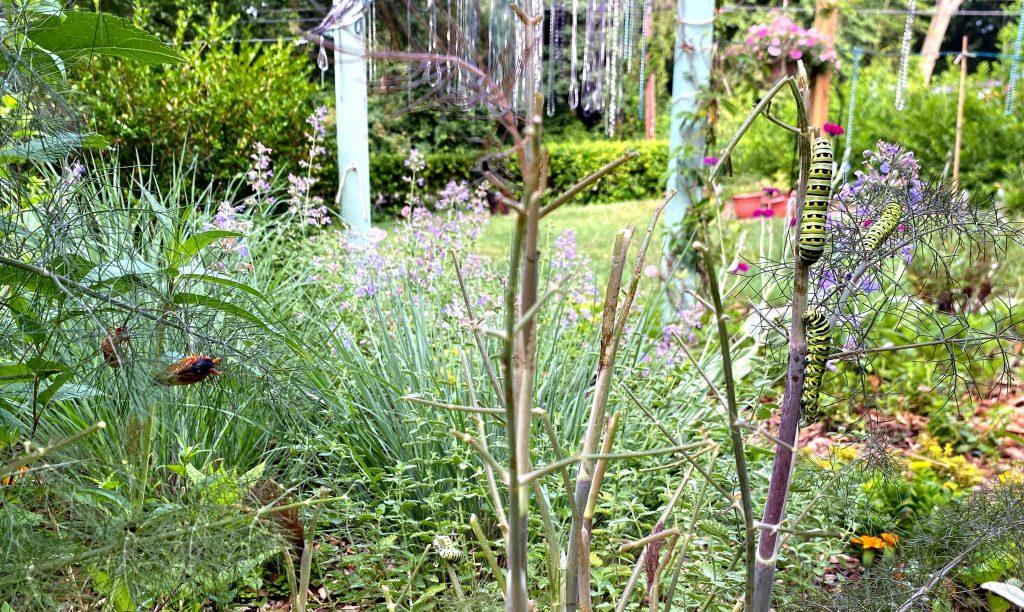 Black Swallowtail caterpillar on bronze fennel
