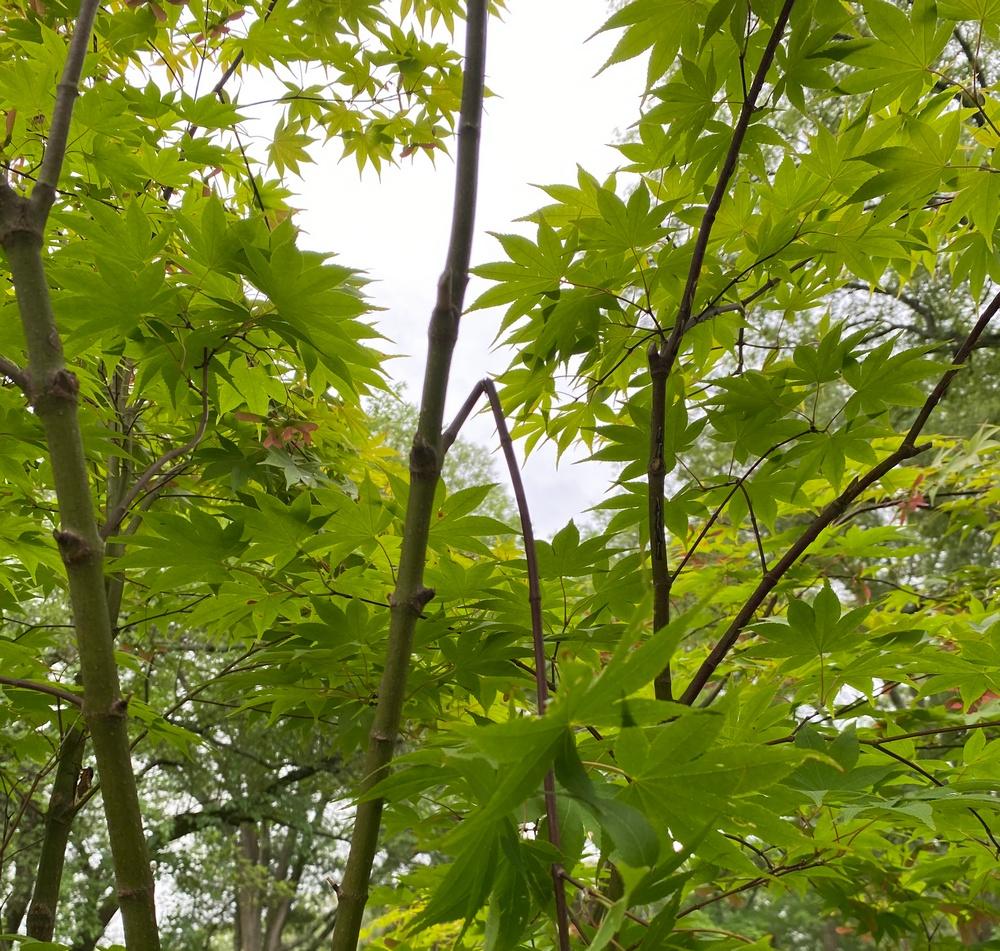 Cicada damage on Japanese maple.