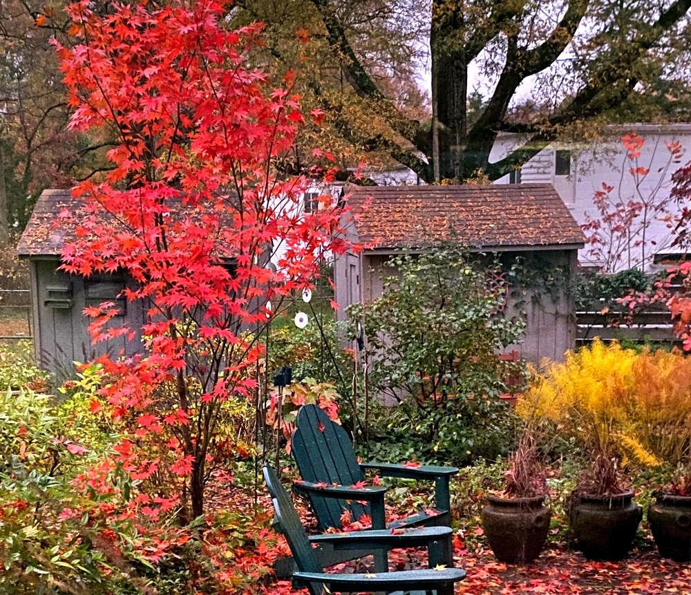 Japanese maple 'Osakazuki' in mid-November