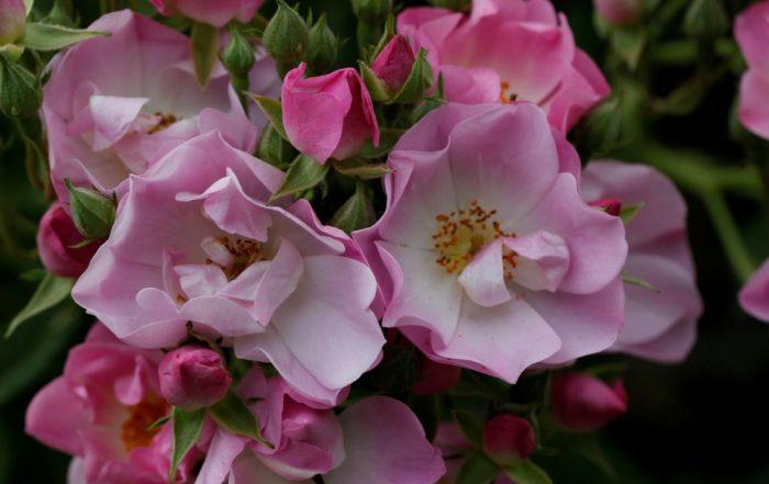Rosa Apple Blossom at Moor Wood_copyright Charles Hawes