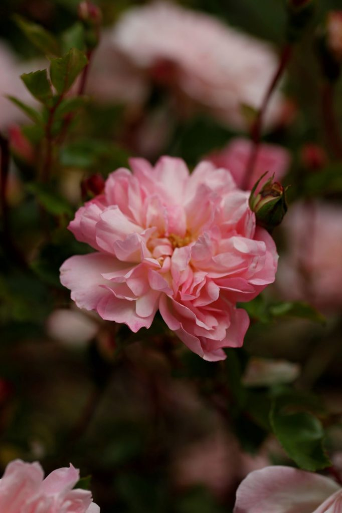 Rosa Blushing Lucy_at Moor Wood _copyright Charles Hawes
