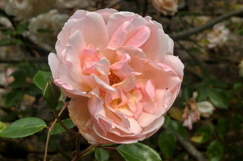 Rosa 'Leontine Gervais' at Moor Wood copyright Anne Wareham