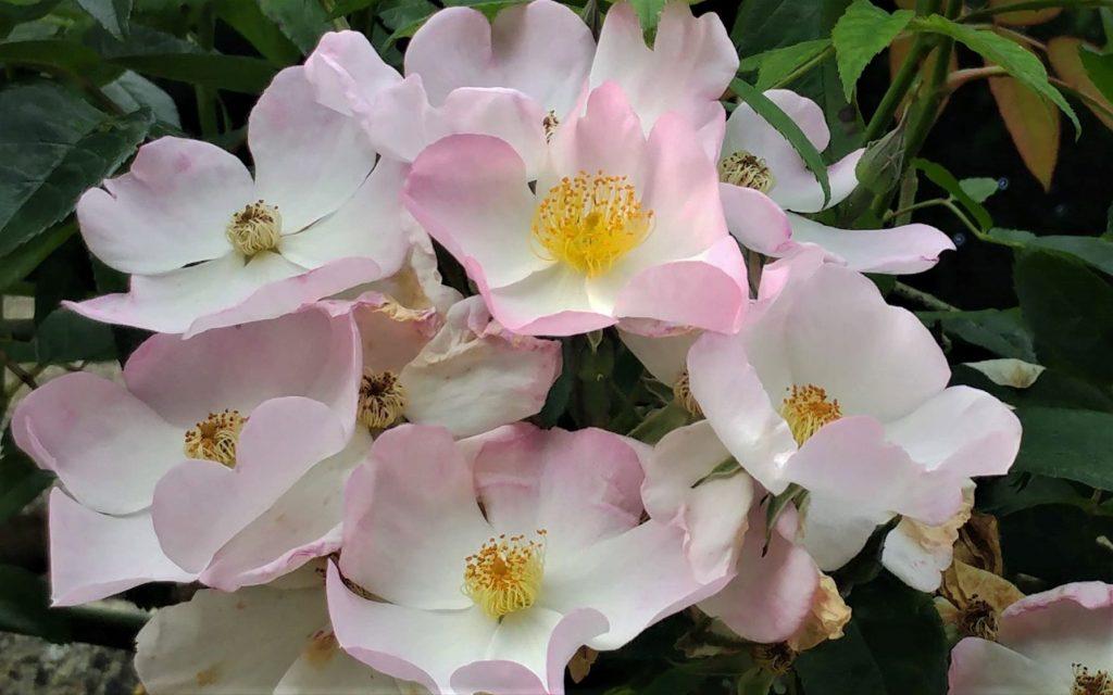 Rosa Princess Louise at Moor Wood copyright Anne Wareham