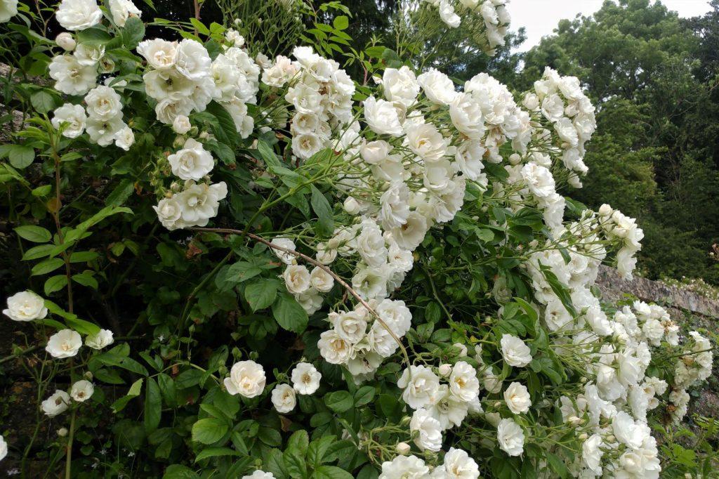 Rosa White Flight at Moor Wood copyright Anne Wareham