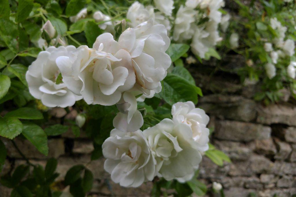 Rose White Flight at Moor Wood copyright Anne Wareham