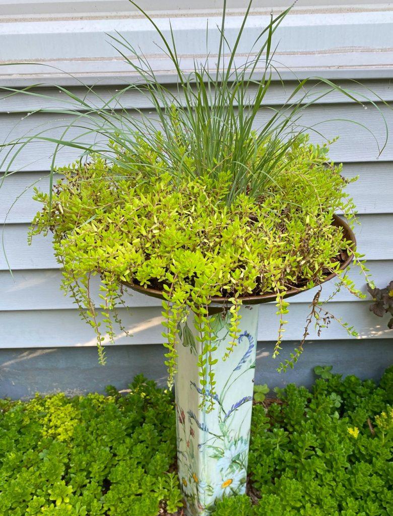 Switchgrass and trailing Sedum in bird bath container