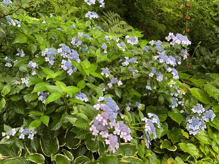 H. serrata 'Bluebird'