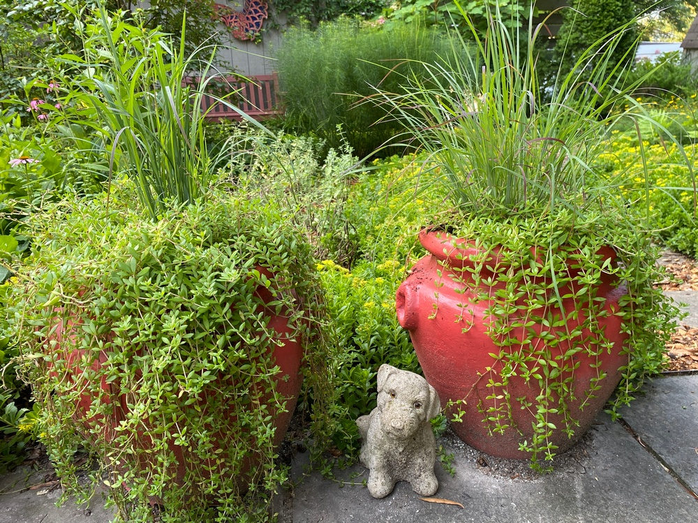Standing Ovation Little Bluestem with trailing Sedum in pots.