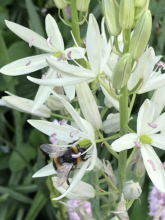 Camassia with bee