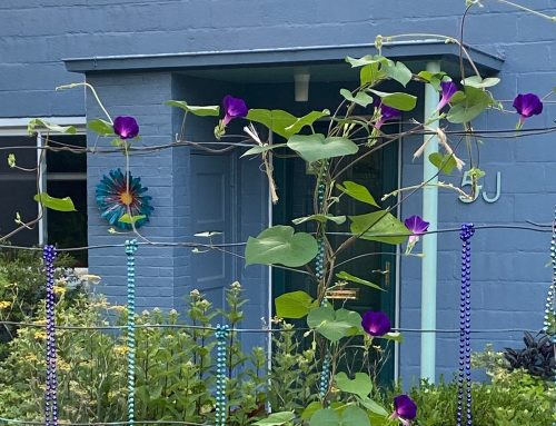 Black-eyed Susans and Morning Glories – the Worst Thugs I've Introduced to my Garden (Lately)