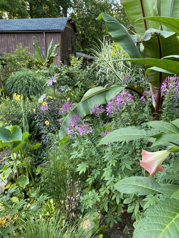 tropicals in temperate garden no greenhouse