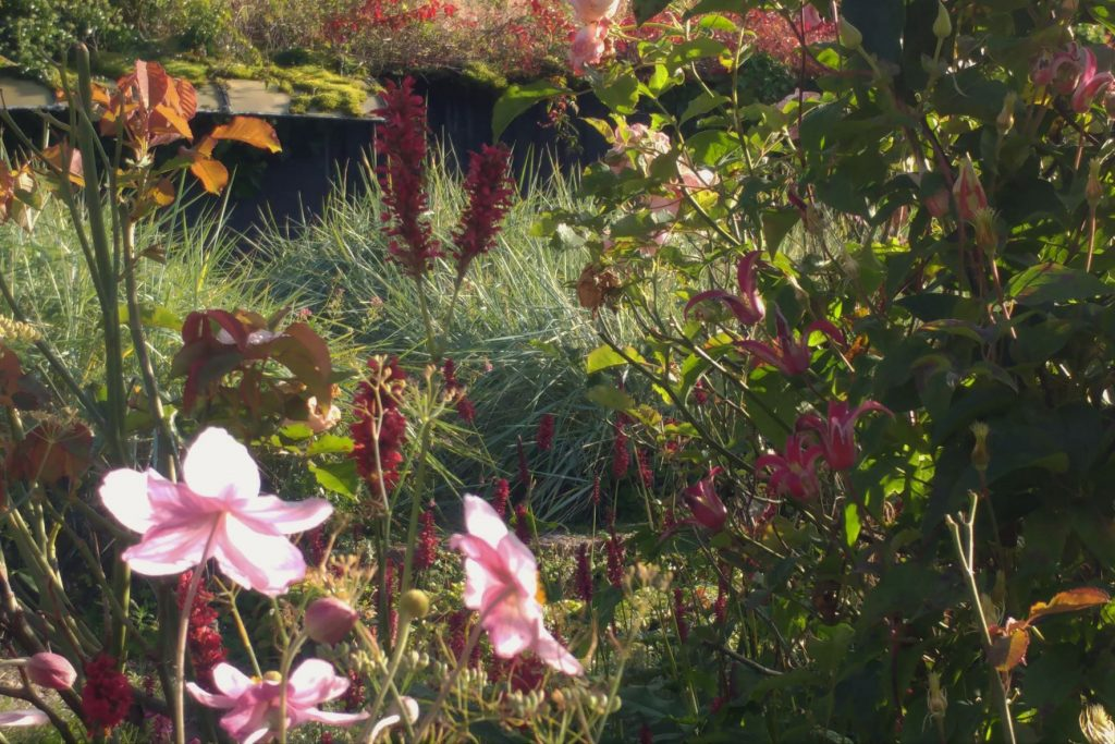Persicaria Fat Domino, clematis Princess Diana, Japanese anemone copyright Anne Wareham