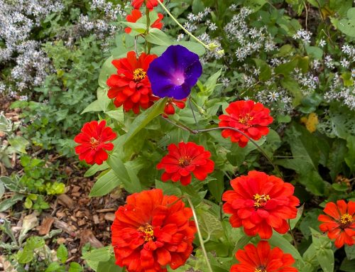 Why am I JUST Discovering Zinnias in Borders?